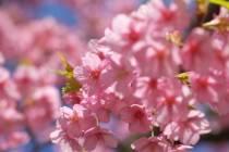 河津桜まつりが始まります!!