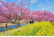 桜祭り開花状況