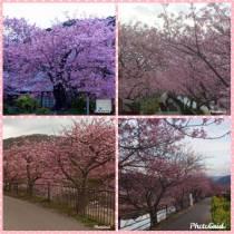 2020.2.13  河津桜 満開です!