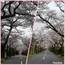 伊豆高原 桜